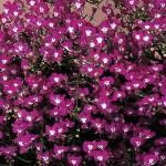 Lobelia Riviera Rose