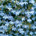 Lobelia Sky Blue