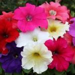Petunia velkokvětá - Směs barev