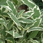 Salvia Officinalis Variegata