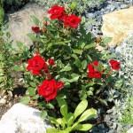 Skalková růže mini
