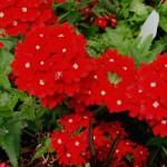 Verbena Temari Peruvian - Red
