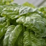 Bazalka Lettuce leaf