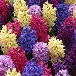 Hyacint - různé barvy