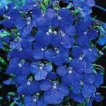 Lobelia Marine Blue
