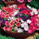Petunie Milliflora (mini) - Směs barev