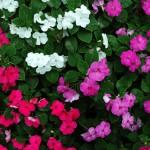 Phlox - různé barvy