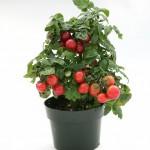 Rajče keříčkové Cherry červené