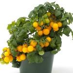 Rajče keříčkové Cherry žluté