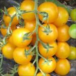 Rajče tyčkové Cherry žluté
